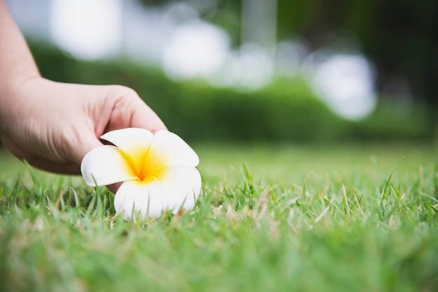 La mano de la señora escoge la flor del plumeria de la hierba verde molida - gente con concepto hermoso de la naturaleza