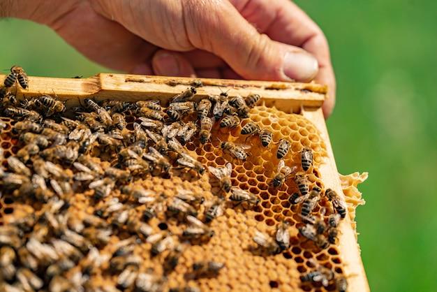 La mano del ser humano sostiene un marco de madera con panal y abejas dentro. de cerca