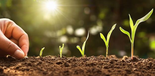 Mano siembra semilla de maíz de médula en el huerto con sol