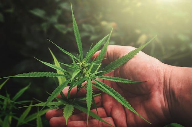 Mano sujetando la hoja de cannabis en la granja con puesta de sol