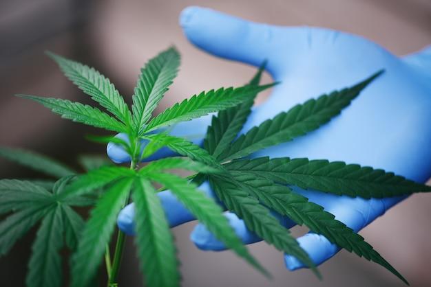 Mano toque marihuana deja el árbol de la planta de cannabis que crece sobre un fondo oscuro