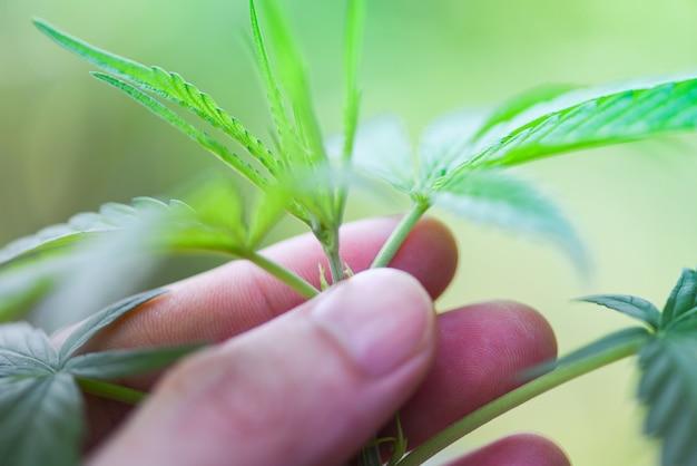 Mano toque marihuana deja el árbol de la planta de cannabis que crece sobre un fondo verde