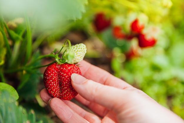 Mano de trabajador agrícola femenino cosechando fresa orgánica madura fresca roja en el jardín
