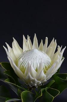 Manojo de la flor del protea del rey aislado en un fondo negro