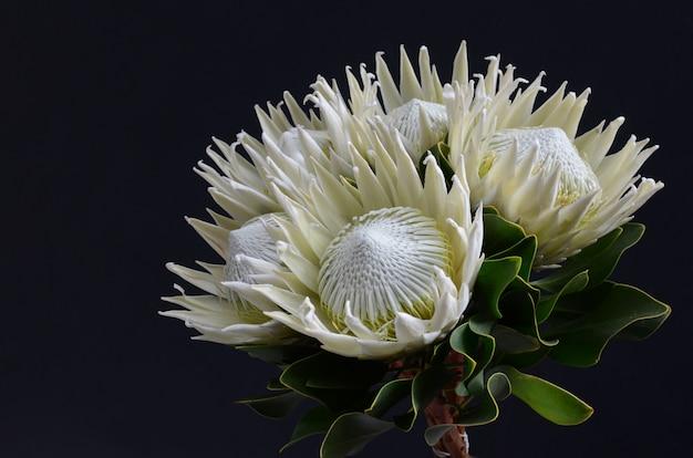 Manojo de la flor del protea del rey en un fondo aislado negro. de cerca. para el diseño. naturaleza.