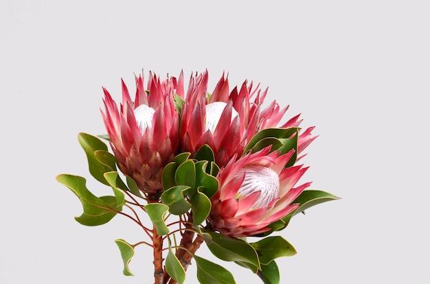 Manojo de flor protea rojo aislado en un fondo negro
