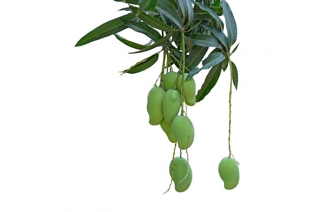 Manojo de mango crudo en el jardín