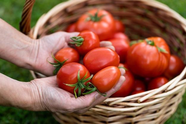 Manos de agricultores de mujer sosteniendo tomates cosechados, canasta de tomates recién cosechados en el césped