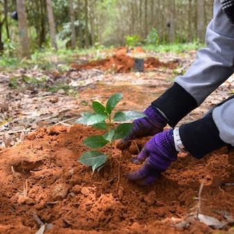 Manos de agricultores para plantar plantones de café en plantaciones.