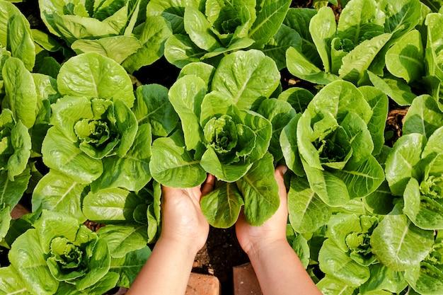 Las manos de los agricultores sostienen vegetales orgánicos de ensalada verde en la trama. concepto de alimentación saludable, alimentos no tóxicos, cultivo de vegetales para comer en casa.