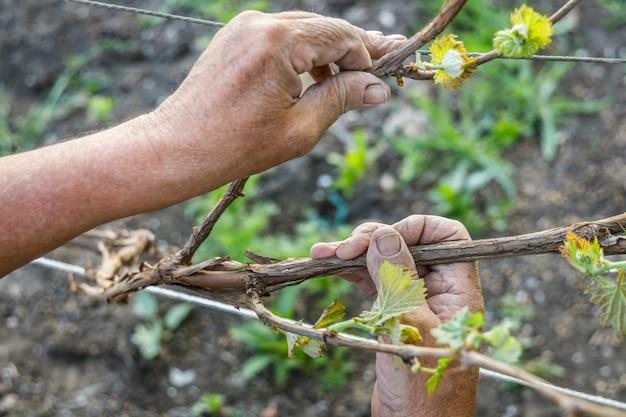 Las manos arrugadas de la mano del agricultor sostienen una rama de uva