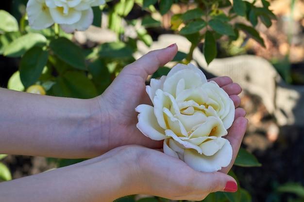 Manos femeninas sostienen la cabeza de la flor blanca en el jardín