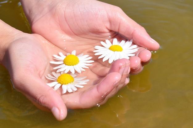 Manos femeninas sostienen flores de manzanilla