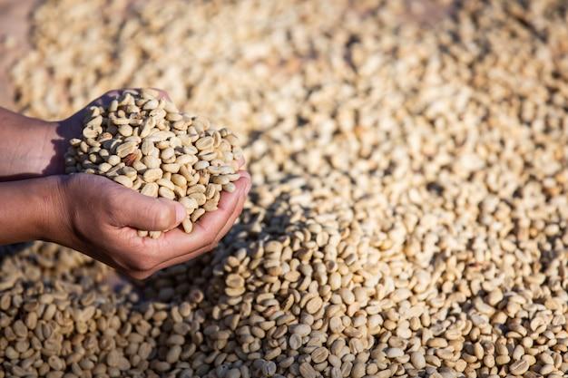Manos con granos de café en granos de café que se secan.