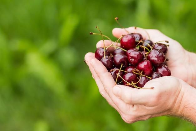 Las manos del hombre están llenas de cerezas. bayas frescas, frutas, nutrición sana y adecuada.