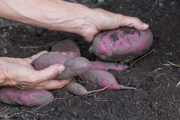 Manos de mujer cosechando batatas en el jardín