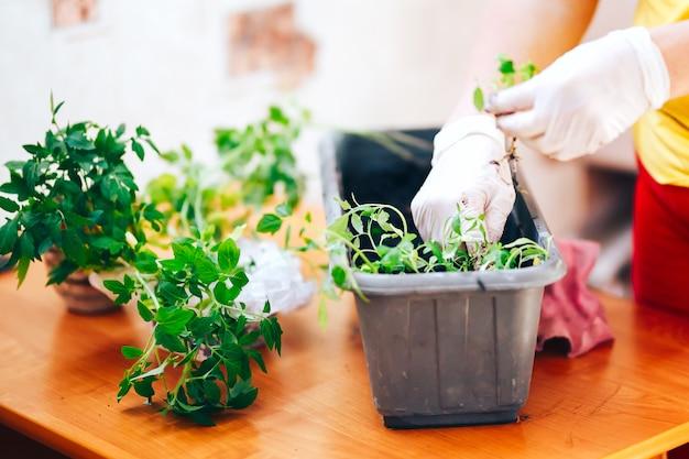 Las manos de la mujer en guantes plantan plantas de semillero de tomate en una olla de plástico negro en casa. trasplantar plántulas en una maceta