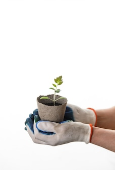 Manos de mujer en guantes con plántulas de tomate en maceta de basura ecológica autodegradable cero sobre fondo blanco aislado