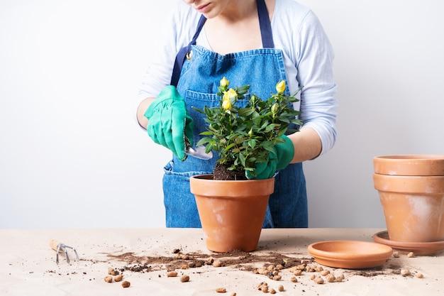 Manos de una mujer joven que planta rosas en la maceta. plantando plantas caseras. cómo plantar en macetas.
