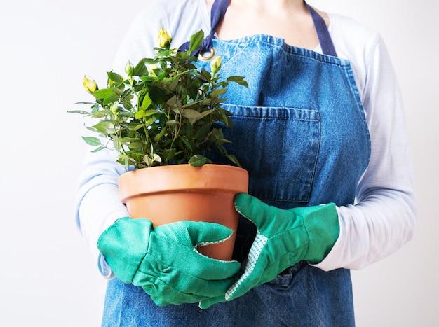 Manos de una mujer joven que planta rosas en la maceta. plantando plantas caseras. jardinería en casa.