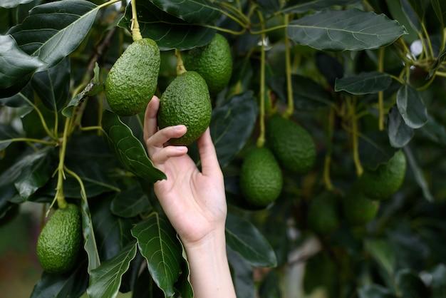 Manos de mujer que cosechan aguacate hass fresco, maduro y orgánico.