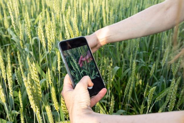 Manos de mujeres con un teléfono inteligente en un campo de cebada verde. blogger toma fotografías del campo agrícola, creación de contenido