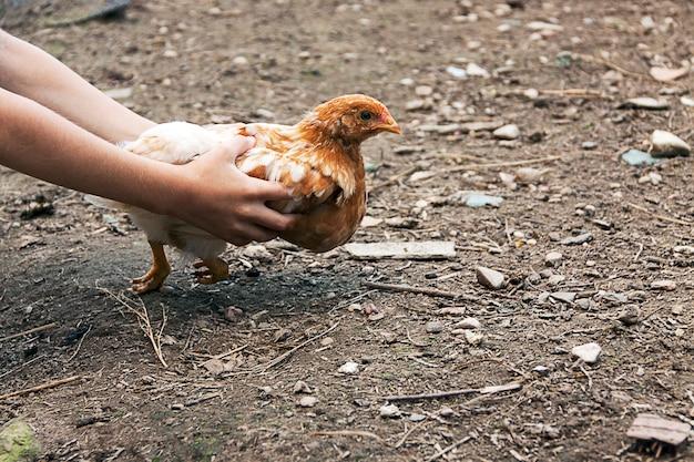 Manos de los niños dejando libre el pollo.