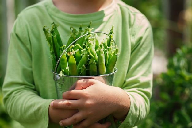 Manos de niños sosteniendo un pequeño cubo con peras verdes en jardín de verano