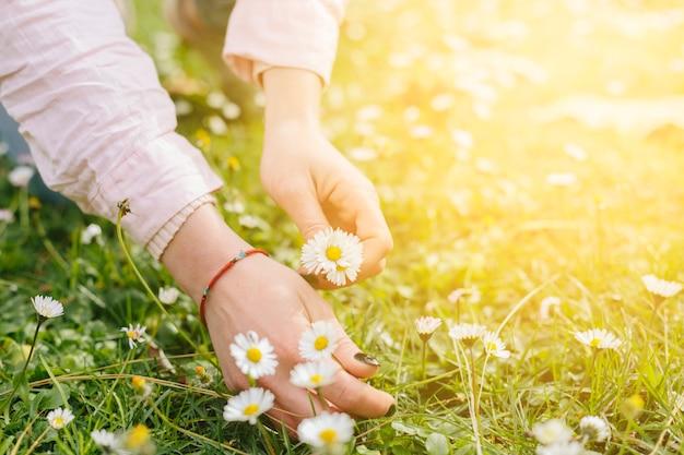 Manos de la persona recogiendo flores de margarita