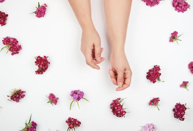 Manos con piel suave y suave y capullos de un clavel turco en flor.