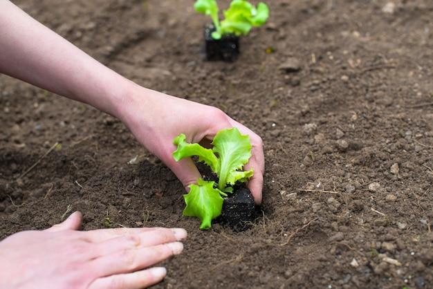 Manos plantar ensalada en el suelo listo