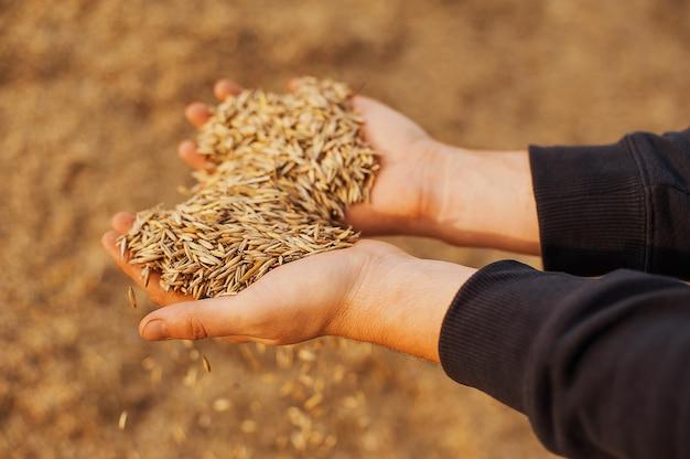 Las manos de un primer granjero sosteniendo un puñado de granos de trigo