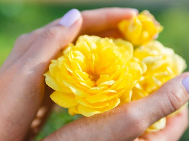 Manos sosteniendo hermosa rosa amarilla