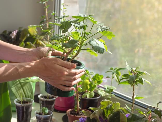 Manos sosteniendo una maceta con una planta. cuidado de plantas de interior. mujer que cuida la planta de interior en el interior.