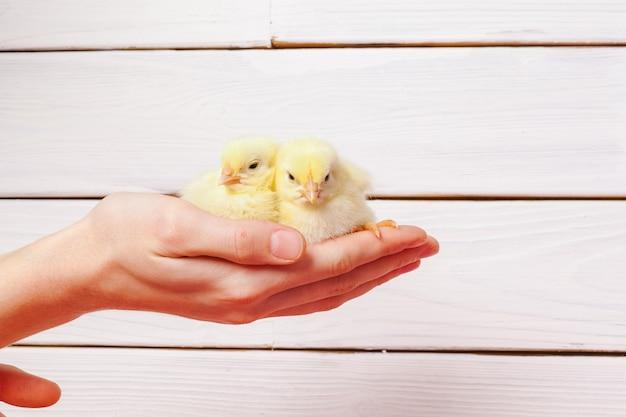 Manos sosteniendo un pollito
