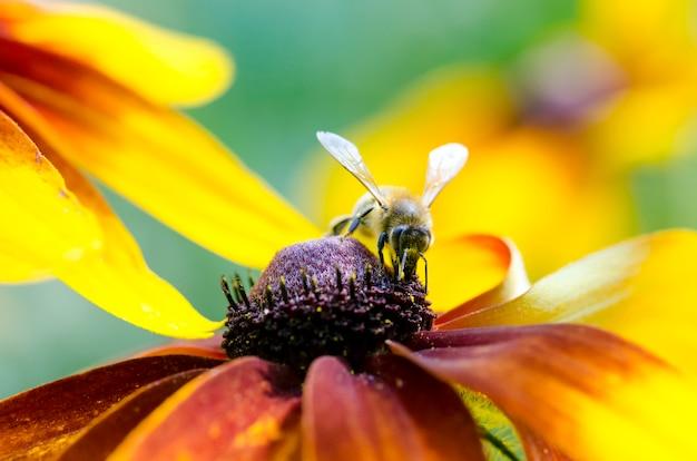 Manosee la abeja en un susans black-eyed