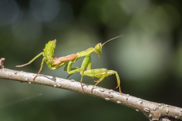 Mantis en rama de árbol