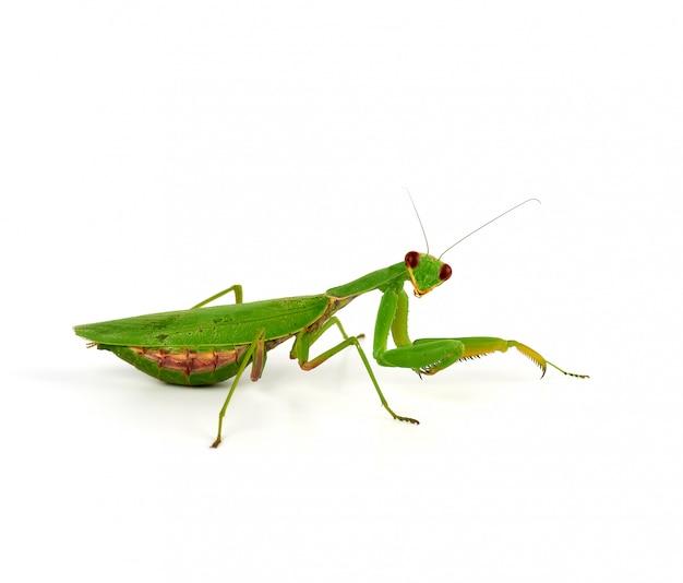 Mantis verde está de pie sobre blanco