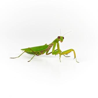 Mantis verde sobre blanco