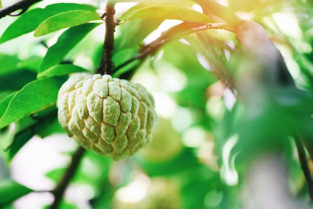 Manzana de azúcar fresca en árbol en el jardín anona de frutas tropicales sobre fondo verde de la naturaleza - annona sweetsop