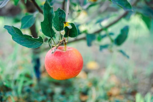 Manzana roja orgánica en rama de árbol en el jardín