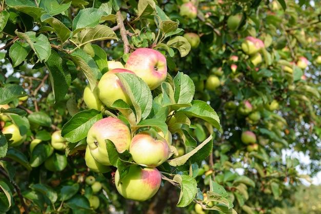 Manzana verde en rama contra el cielo azul y el sol