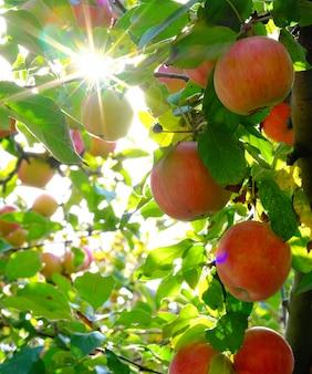 Manzanas en un árbol en los rayos del sol