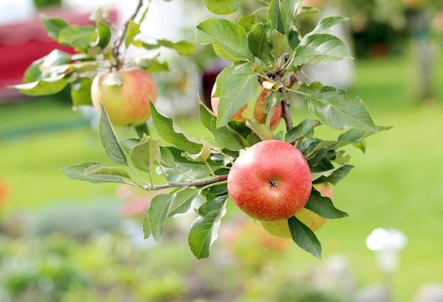 Manzanas en un árbol