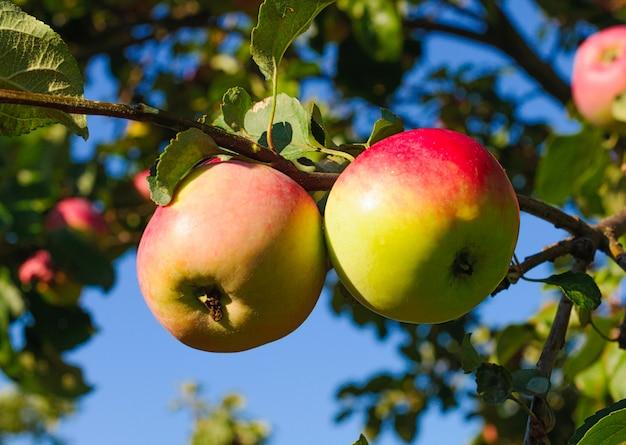 Manzanas colgando de una rama de árbol