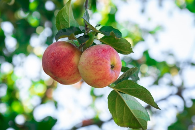 Manzanas frescas en manzanos