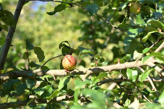 Manzanas maduras en un árbol en otoño