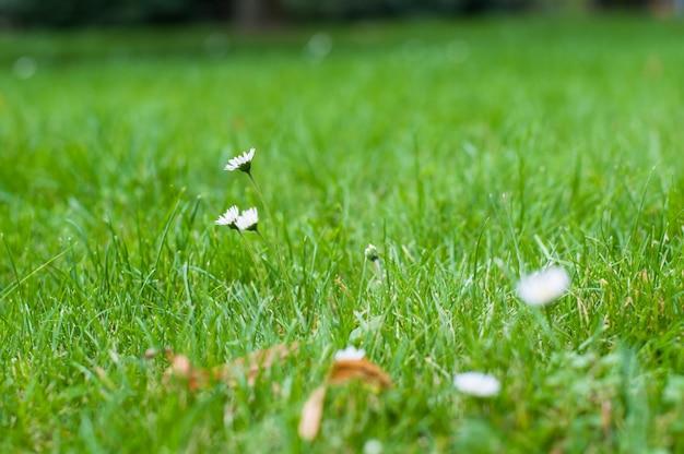 Manzanilla blanca pequeñas flores silvestres sobre un fondo de hierba verde.