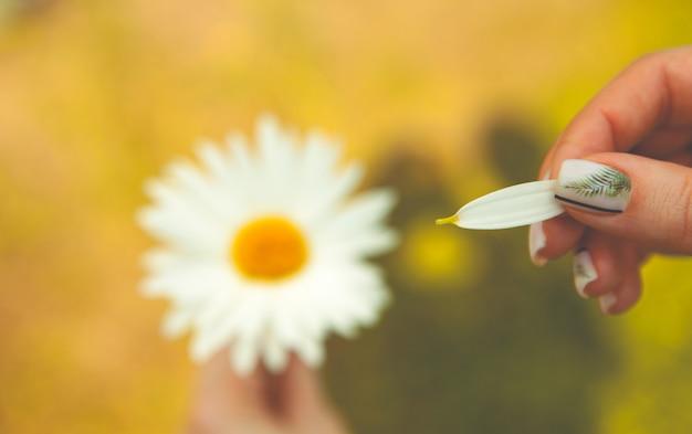 Manzanilla en la mano de una niña, un pétalo desgarrado de una flor, primer plano