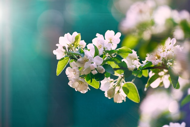 Manzano floreciente en el sol en un fondo azul